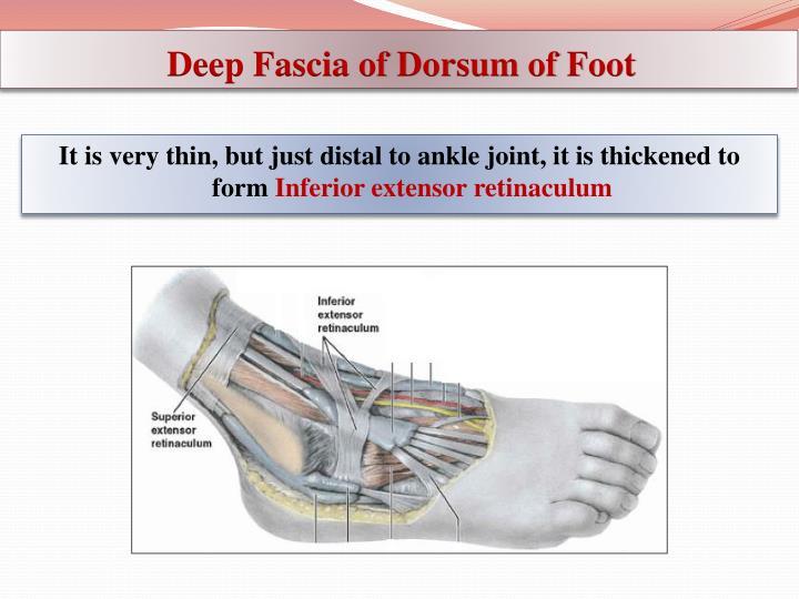 Deep Fascia of Dorsum of Foot