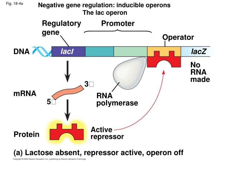 a study on gene regulation using the lac operon