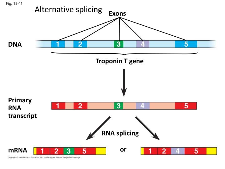 alternate splicing By alternative splicing we can make more than one protein from each gene one gene, many proteins – alternative splicing evolution extraembryonic development.