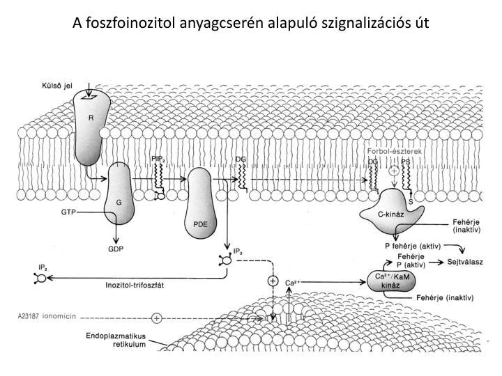 A foszfoinozitol anyagcserén alapuló szignalizációs út