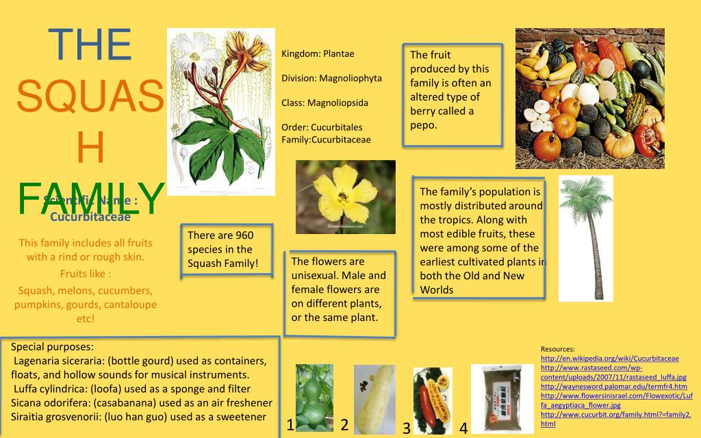 Ppt Scientific Name Cucurbitaceae Powerpoint Presentation