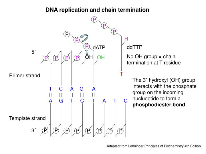 DNA replication and chain termination