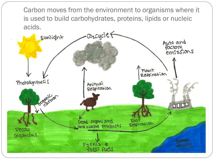 Carbon moves from the environment to organisms where it is used to build carbohydrates, proteins, lipids or nucleic acids.