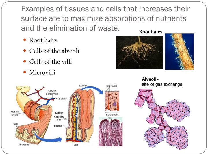 Examples of tissues and cells that increases their surface are to maximize absorptions of nutrients and the elimination of waste.