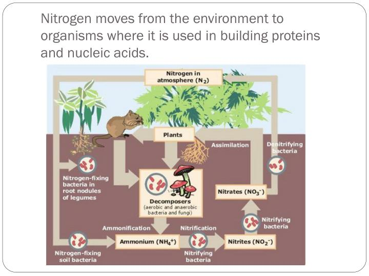 Nitrogen moves from the environment to organisms where it is used in building proteins and nucleic acids.