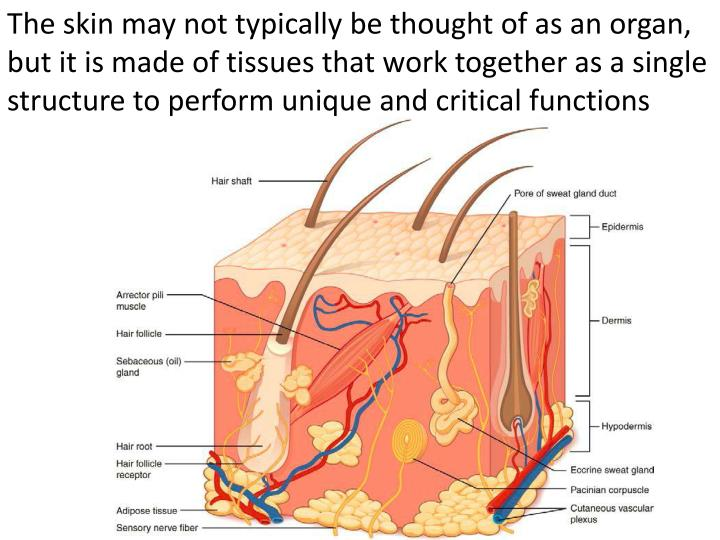 Ppt Integumentary System Powerpoint Presentation Id1937952