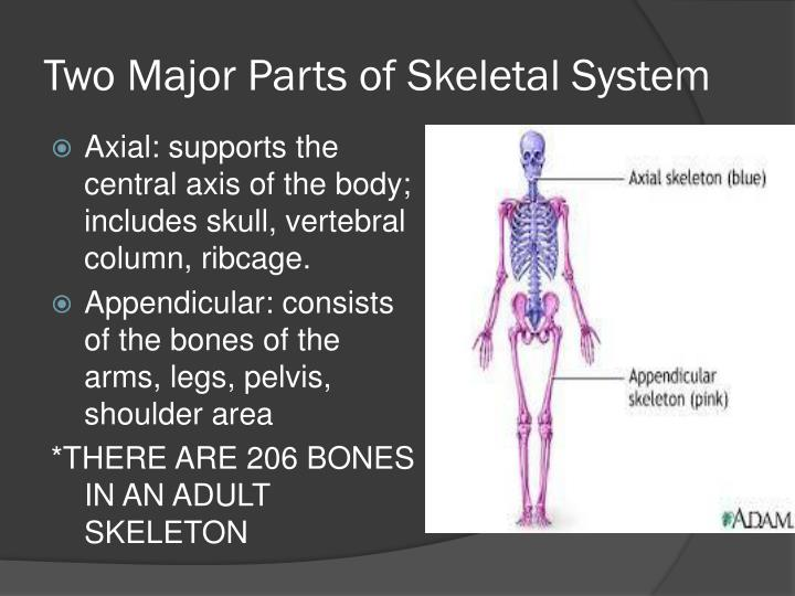 Ppt The Skeletal System Powerpoint Presentation Id1938586