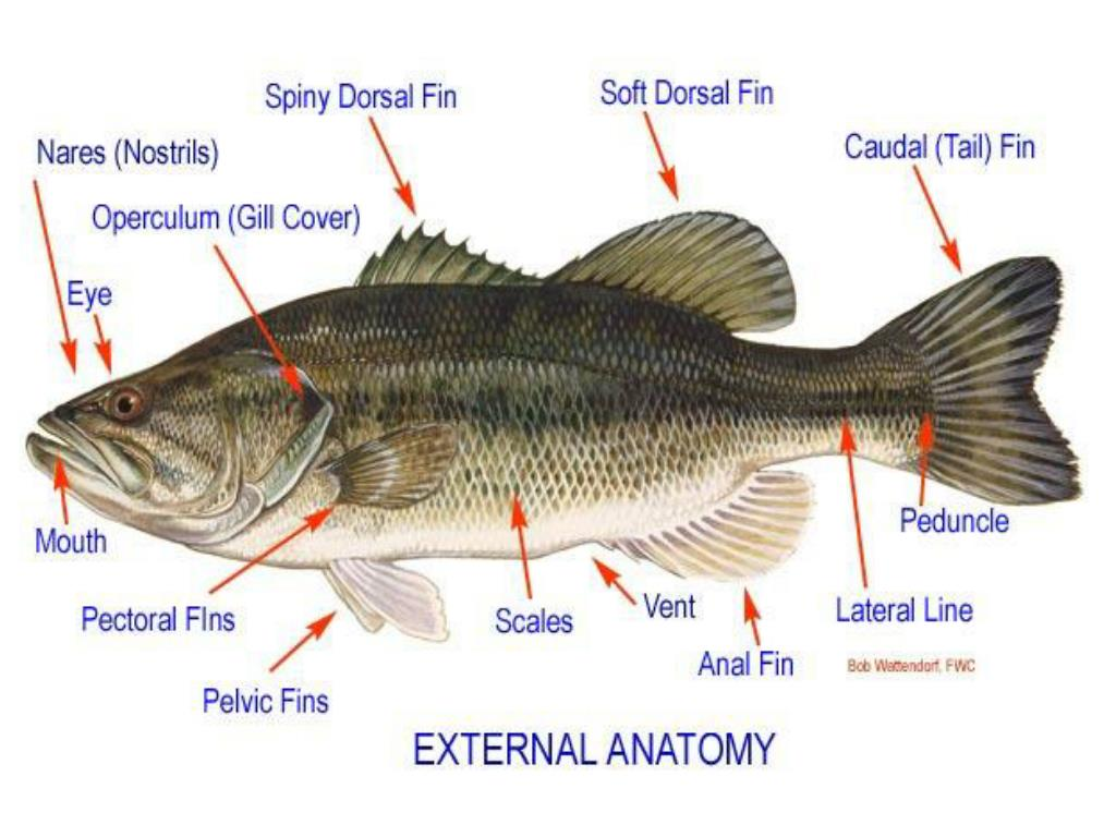 Ppt Internal And External Anatomy Of A Fish Words You Will Need