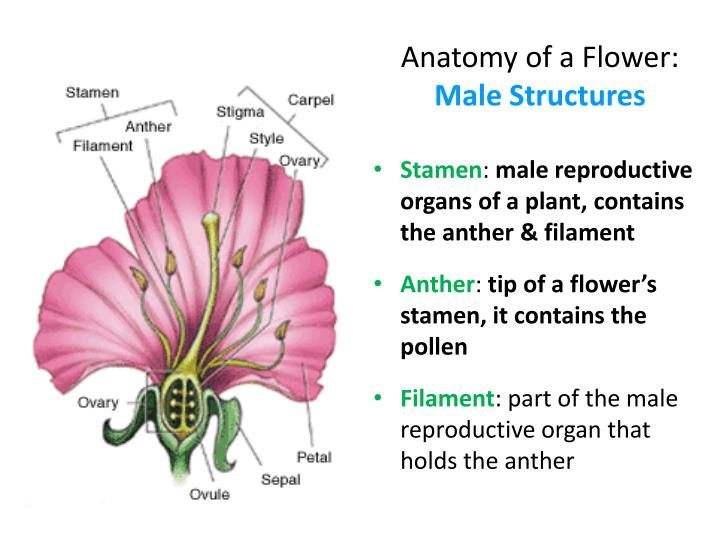Ppt Flower Structure Powerpoint Presentation Id1939463