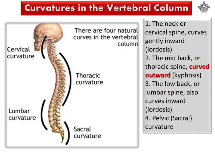 Curvatures in the Vertebral Column