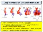 loop formation or s shaped heart tube
