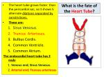 what is the fate of the heart tube