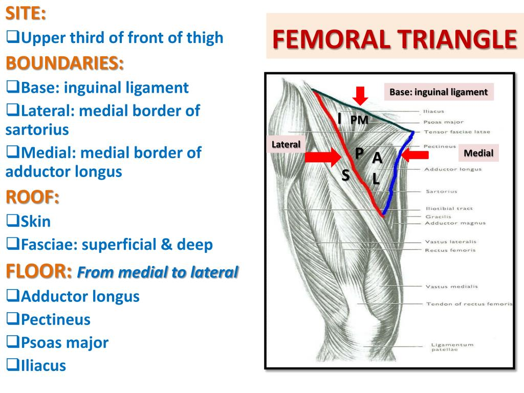 PPT - ANTERIOR & MEDIAL COMPARTMENTS OF THIGH PowerPoint ...