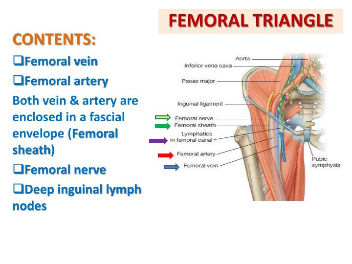 Ppt Anterior Amp Medial Compartments Of Thigh Powerpoint