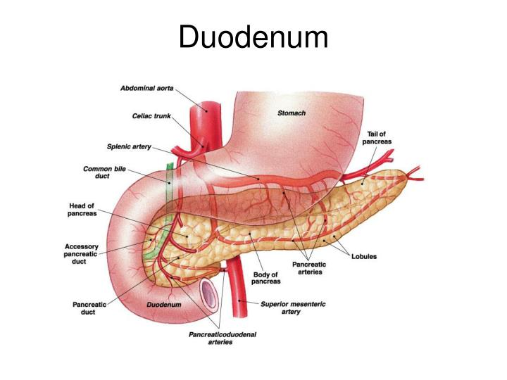 Duodenum