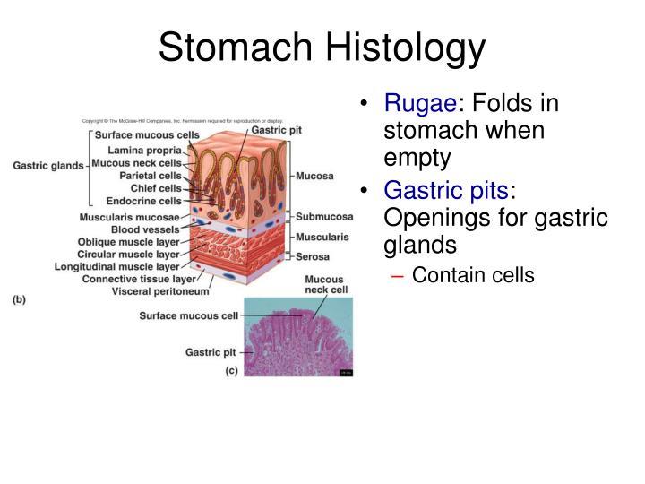 Stomach histology1