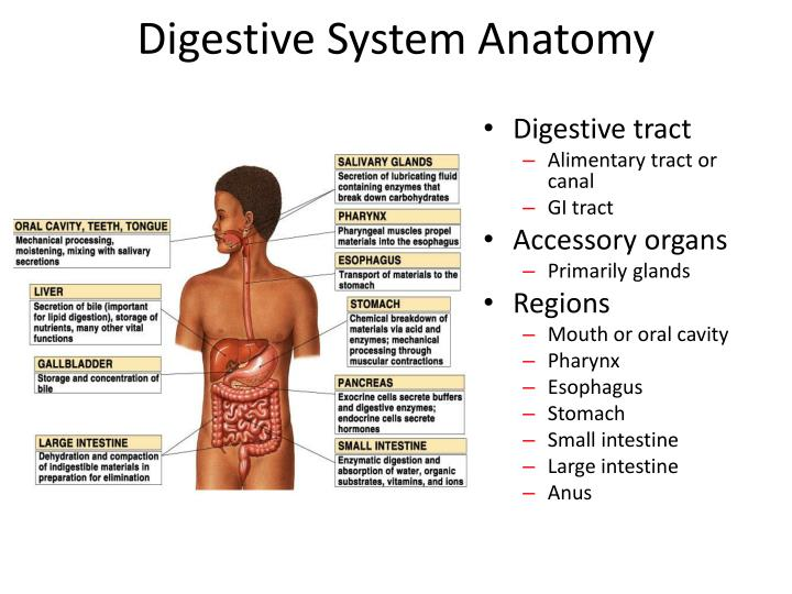 Ppt Digestive System Powerpoint Presentation Id1940166