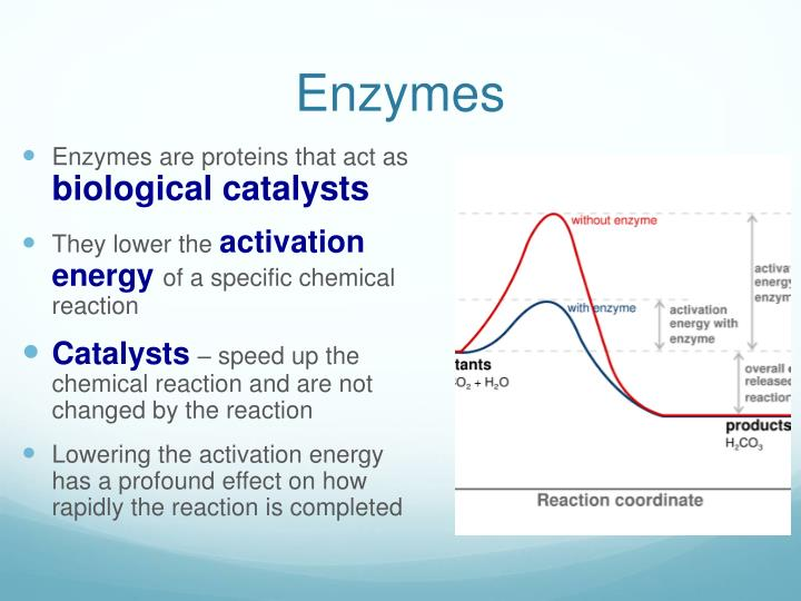 enzymes speed up the biological catalysts and are specific to a certain reaction Enzyme catalysis introduction: in chemical reactions speed up as the enough kinetic energy to undergo the reaction since enzymes are catalysts for chemical.