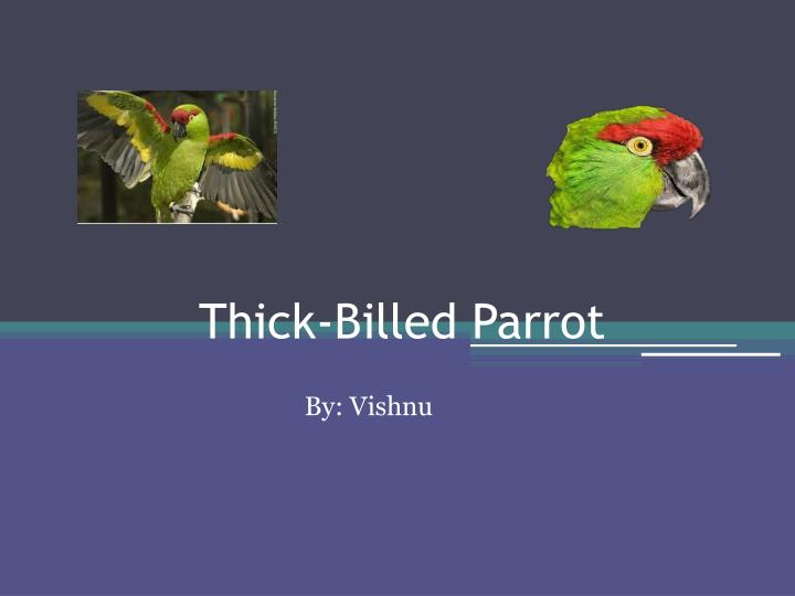 thick billed parrot n.