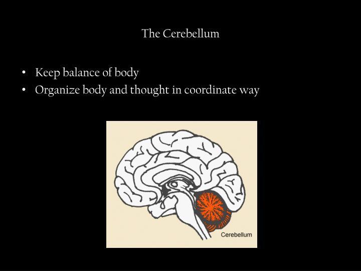 The Cerebellum