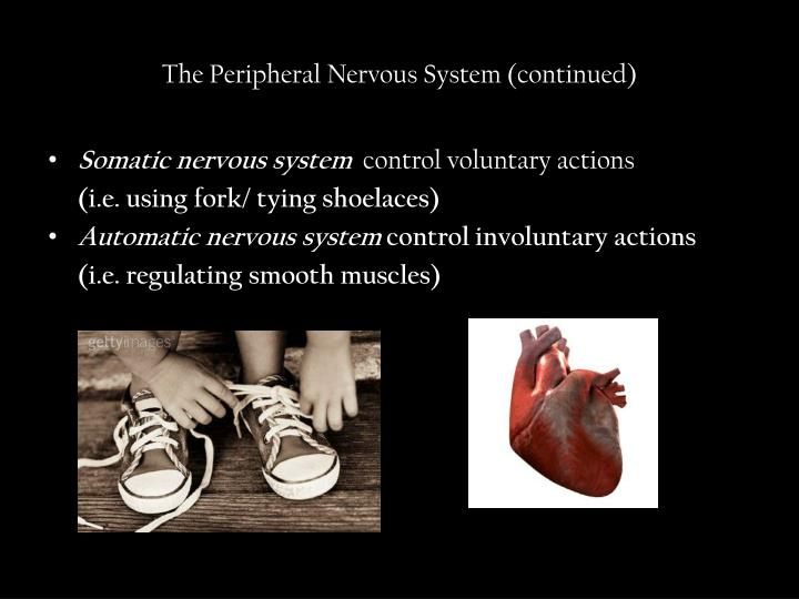 The Peripheral Nervous System (continued)