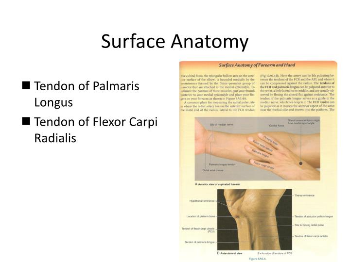 PPT - HUMEROULNAR/ELBOW JOINT & HAND PowerPoint Presentation ...