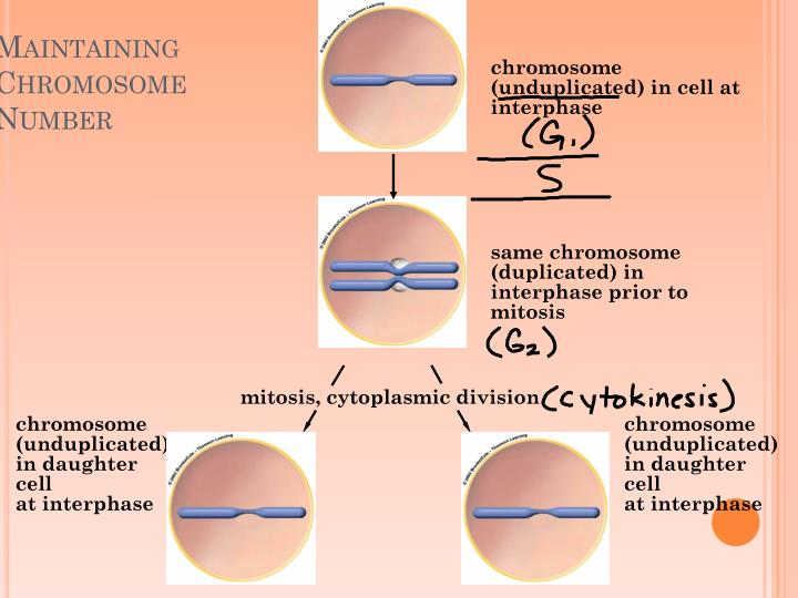 chromosome (unduplicated) in cell at interphase
