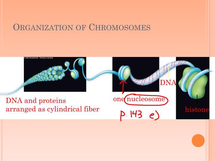 Organization of Chromosomes