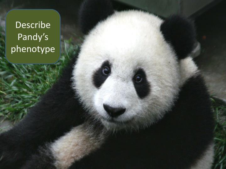 Describe Pandy's phenotype
