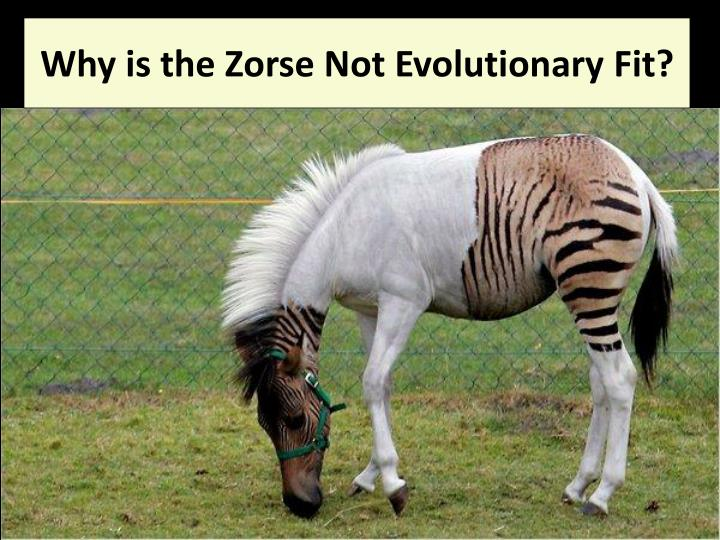 Why is the Zorse Not Evolutionary Fit?