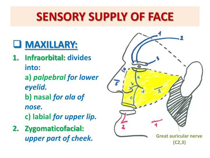 SENSORY SUPPLY OF FACE