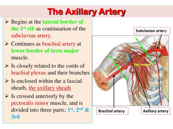 Ppt Vascular Anatomy Of The Upper Limb Powerpoint Presentation