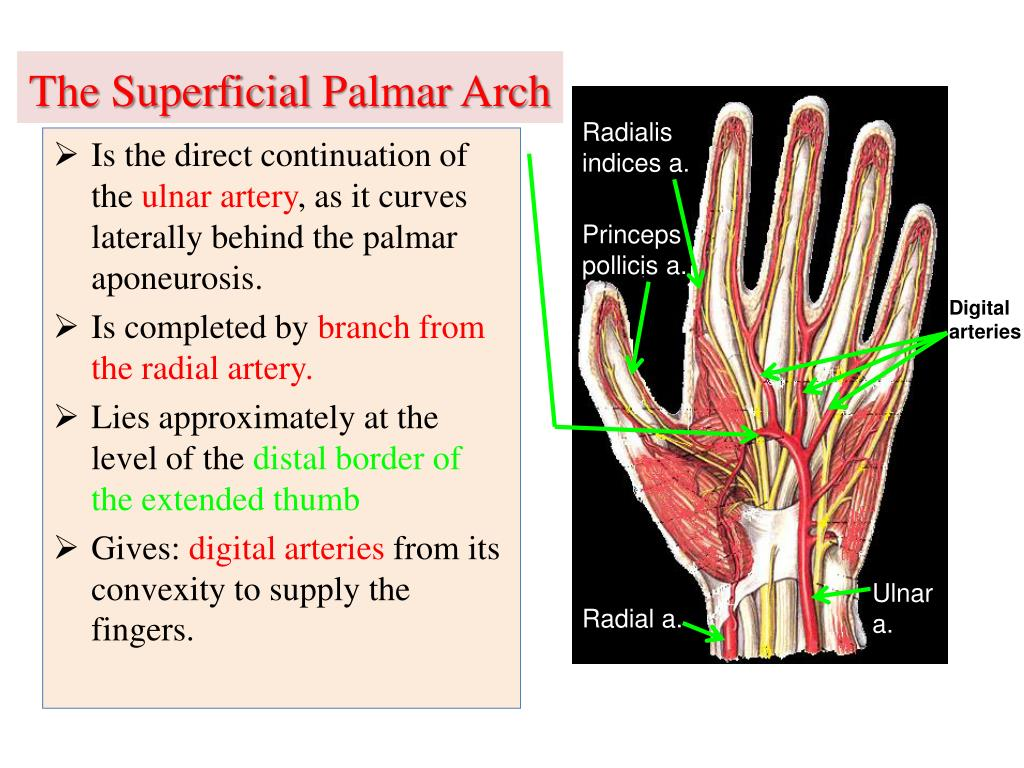 PPT - Vascular Anatomy of the upper limb PowerPoint ...