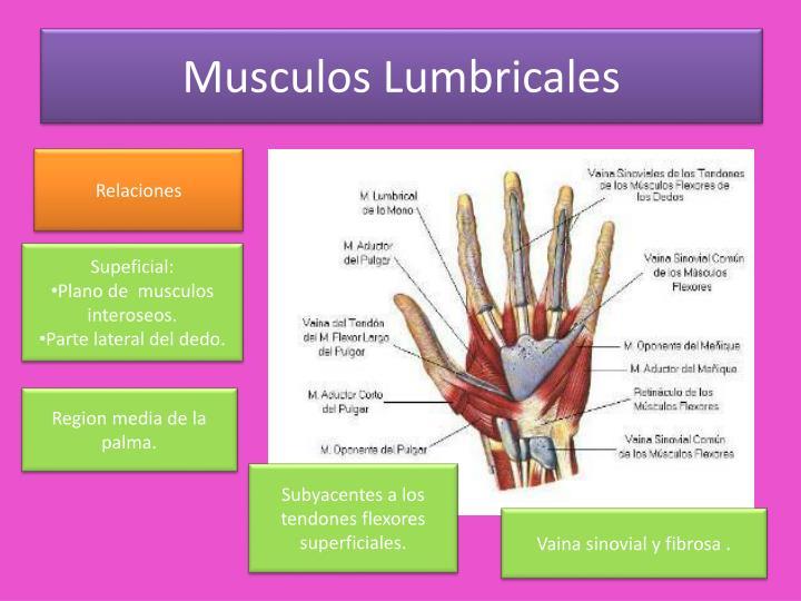 PPT - MUSCULOS DE LA MANO PowerPoint Presentation - ID:1949237