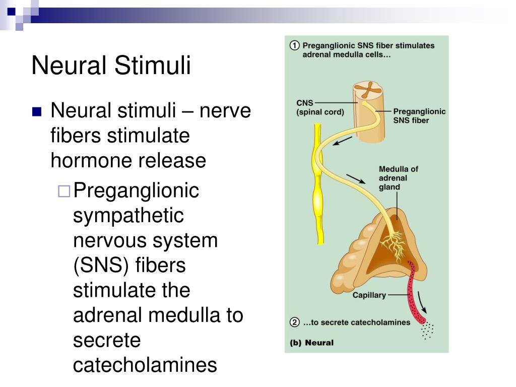endocrine stimuli system neural humoral ppt powerpoint presentation