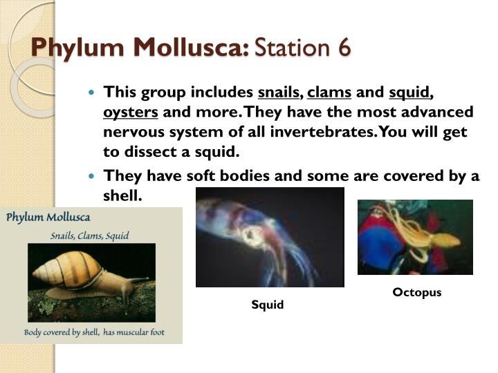Ppt Phylum Mollusca Station 6 Powerpoint Presentation Free Download Id 1950855