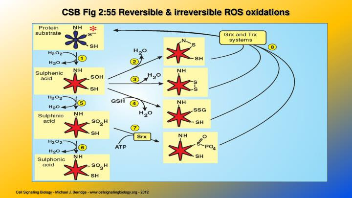 CSB Fig 2:55 Reversible & irreversible ROS oxidations