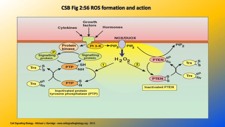 CSB Fig 2:56 ROS formation and action