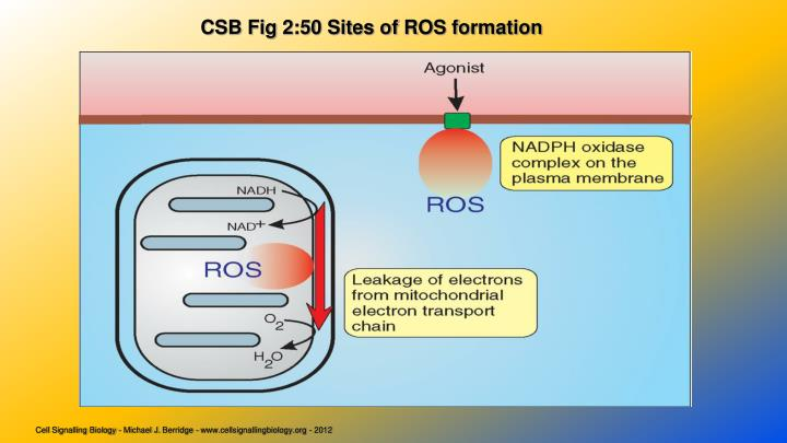 CSB Fig 2:50 Sites of ROS formation