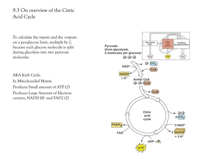 9.3 On overview of the Citric Acid Cycle