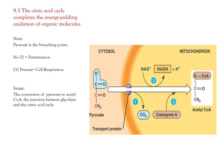 9.3 The citric acid cycle completes the energy-yielding oxidation of organic molecules