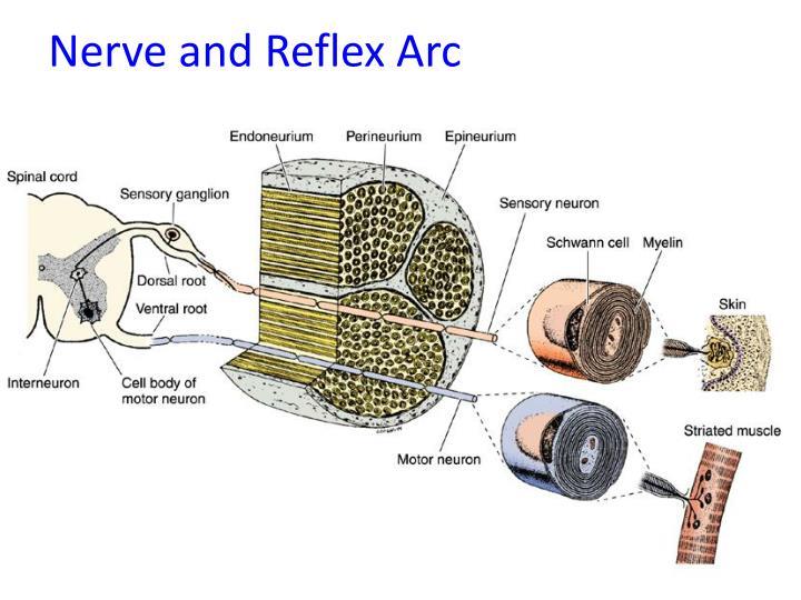 Nerve and Reflex Arc