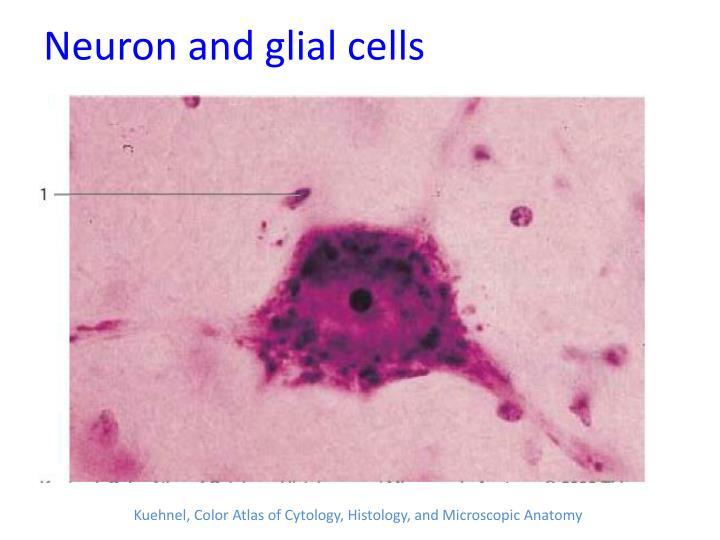 Neuron and glial cells