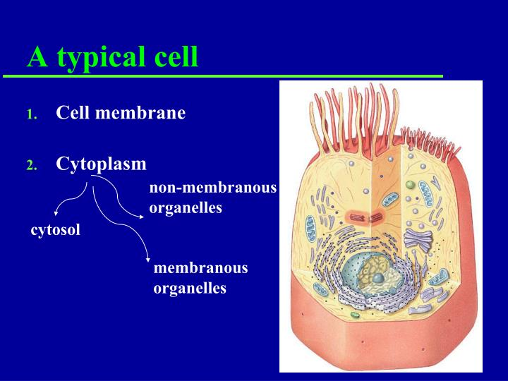 A typical cell