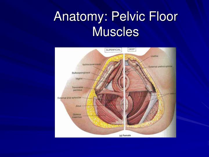 the importance of pelvic floor muscles Pregnancy incontinence is something that is often mentioned or heard about when talking about pregnancy, however many people don't understand the real importance of the pelvic floor, and specifically why it is important to keep it strong during and after pregnancy many people are embarrassed when it comes to talking about 'strengthening your pelvic floor.