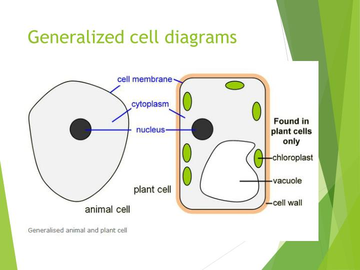 Ppt plant and animal cells powerpoint presentation id1961254 generalized cell diagrams ccuart Image collections