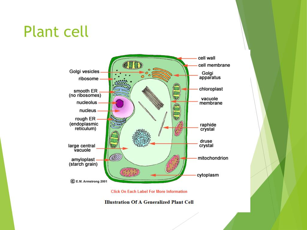 PPT - Plant and animal cells PowerPoint Presentation, free ...