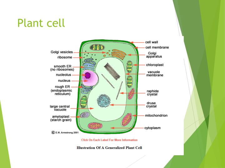 Ppt plant and animal cells powerpoint presentation id1961254 plant cell ccuart Choice Image