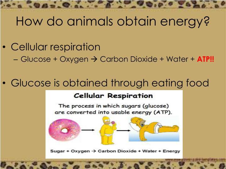 How do animals obtain energy?