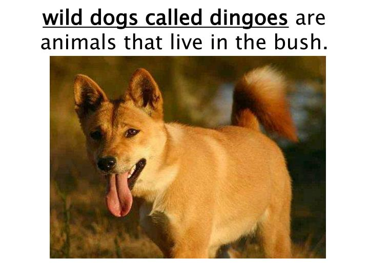 wild dogs called dingoes